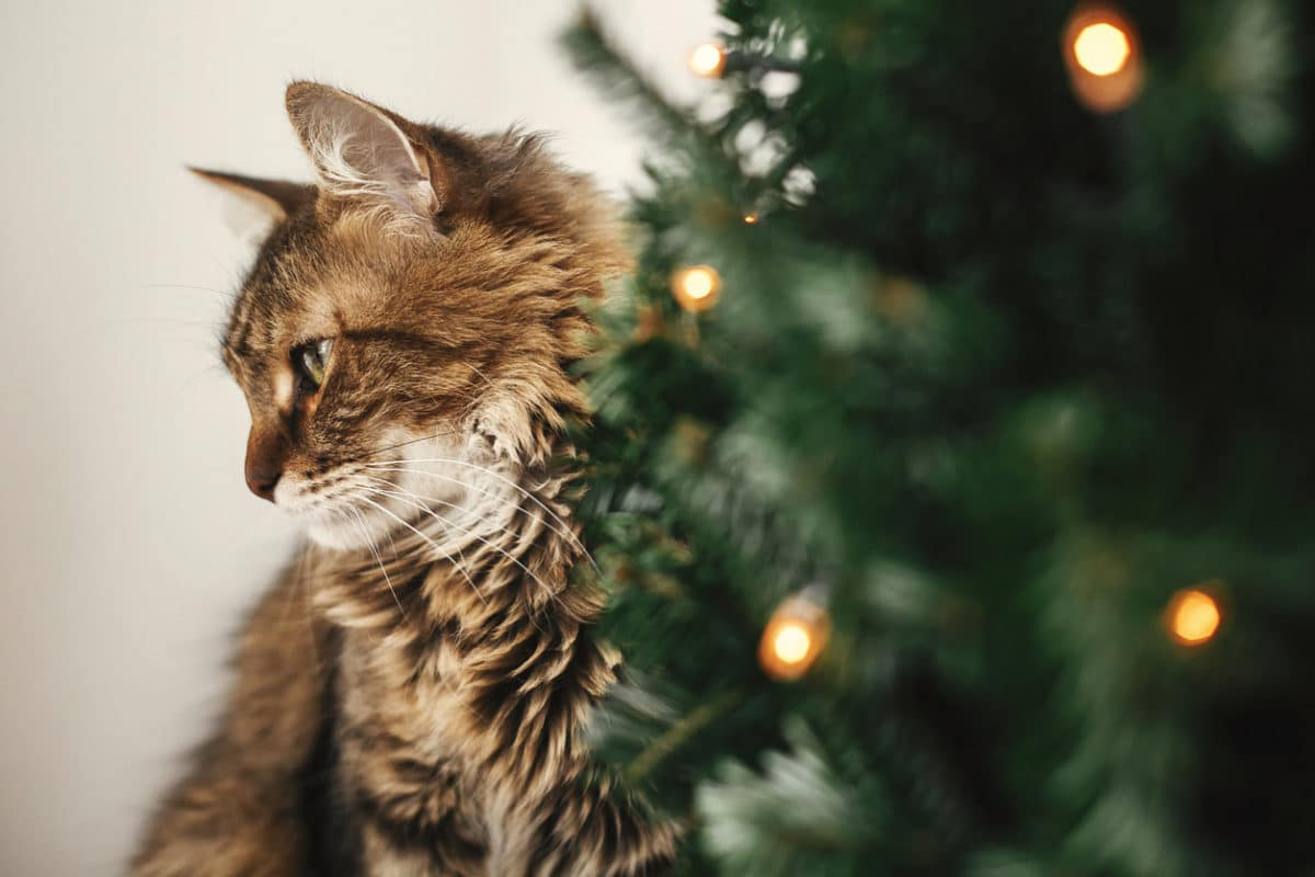 Maine coon cat with green eyes sitting at little christmas tree with lights. Cute kitty relaxing under festive christmas tree. Winter holidays. Pet and holiday
