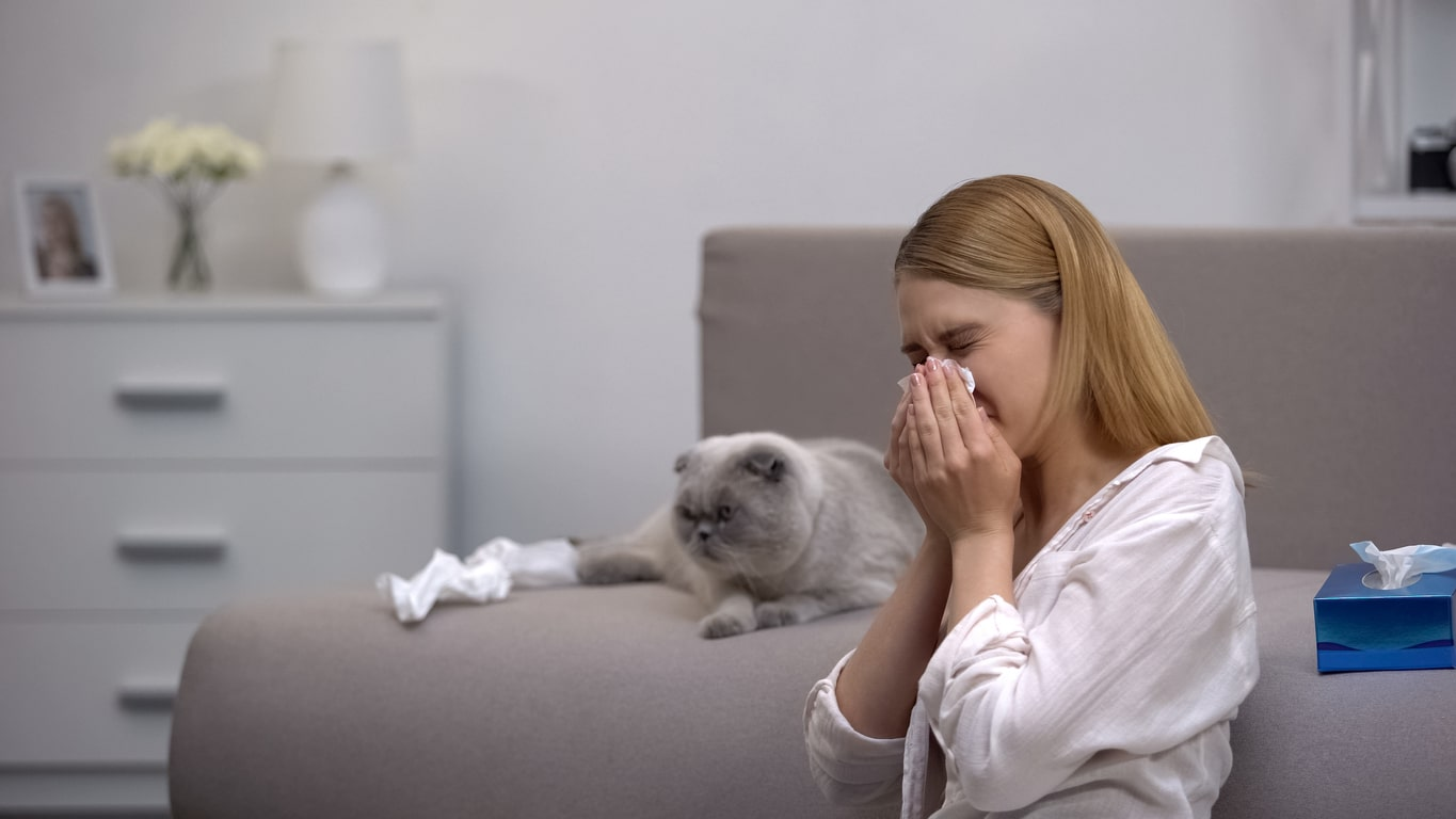 Woman sneezing from cat allergy, scottish fold sitting on couch, antihistamines