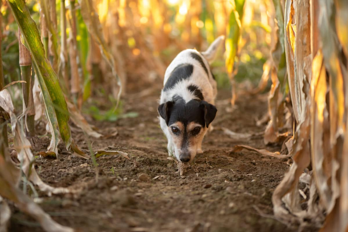 Cute disobedient Jack Russell Terrier Dog has escaped and is following a lead in the maize field in autumn.