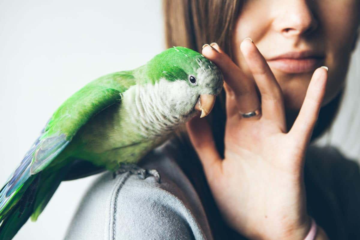 Close-up of friendly and cute Monk Parakeet. Green Quaker parrot is sitting on a woman's shoulder.