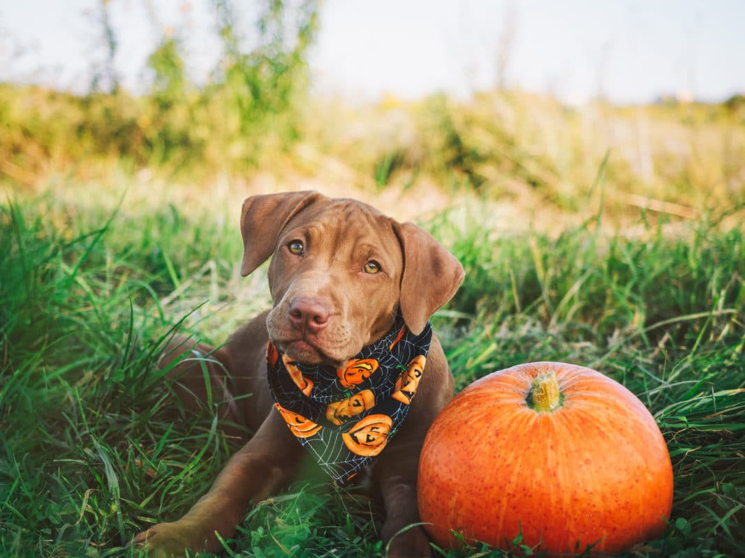 Sweet puppy of chocolate color on the grass on a sunny morning and bright scarf with a pumpkin