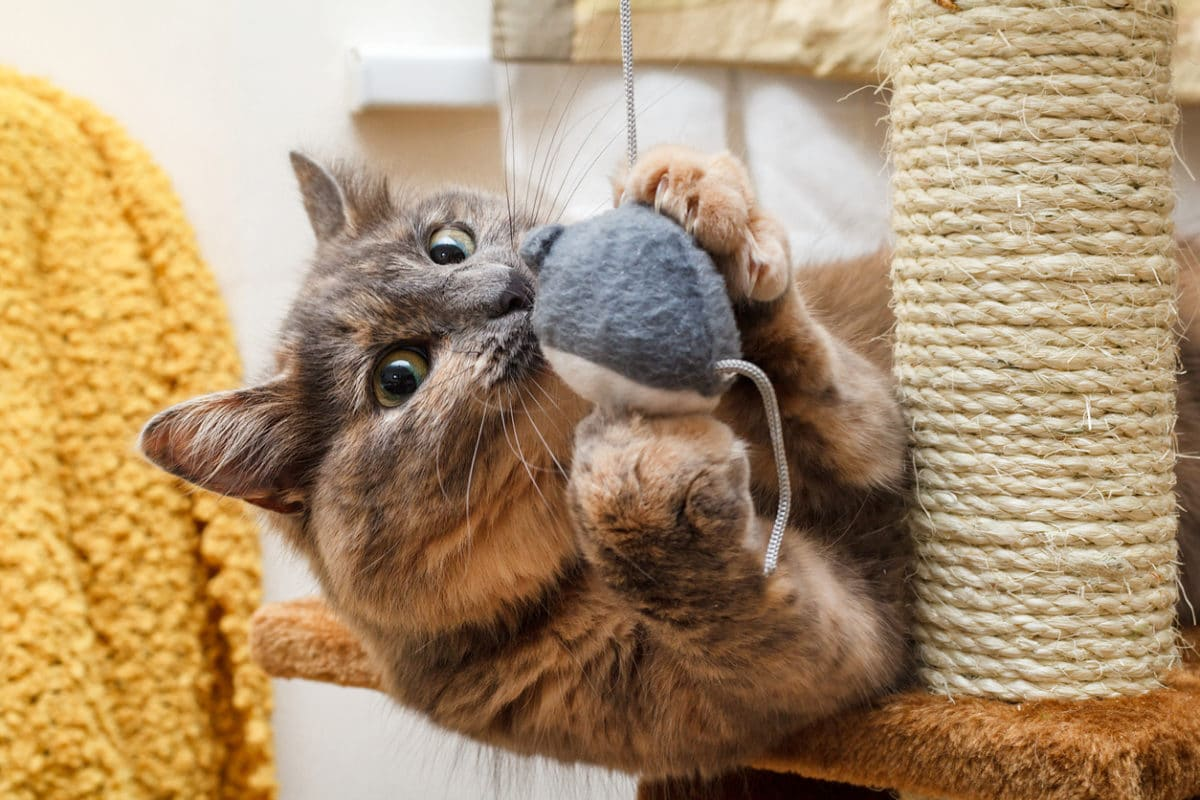 Cat playing with a toy mouse on a cat scratch stand.