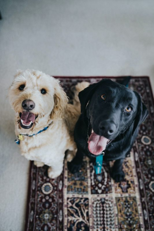 Two dogs on a carpet