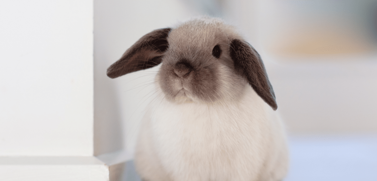 lapin - article